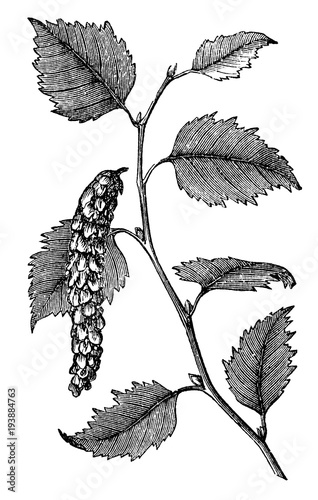 victorian engraving of the white birch plant