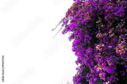 Fotomural bougainvillea flowers on white