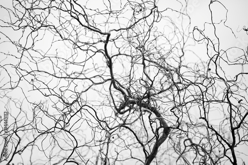 Photographie Tangled structure of thin twisted tree branches resemble a network of veins and arteries