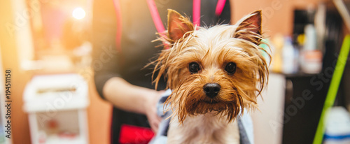 drying Yorkshire terrier in a professional hairdresser