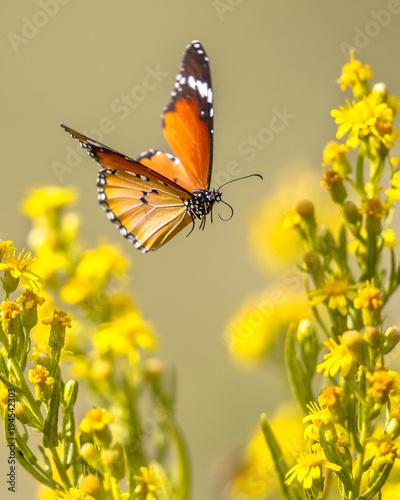 Fototapeta premium Latający motyl Zwykły tygrys między kwiatami