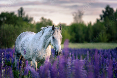 Portrait of a grey horse among lupine flowers.