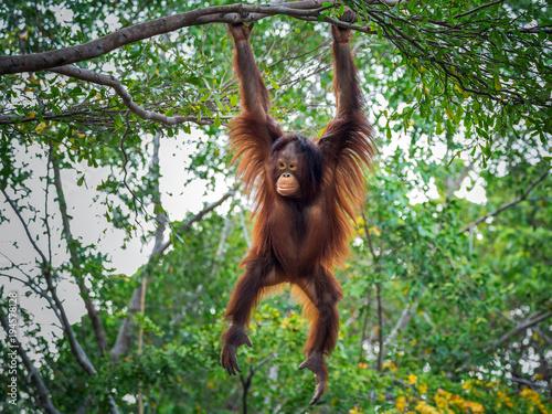 Photo The orangutan is playing on the tree.
