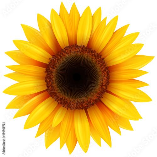 Sunflower flower isolated Fototapeta