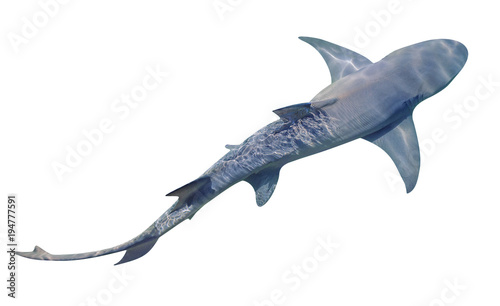 Fototapeta premium Sicklefin Lemon shark, Negaprion acutidens, na białym tle. Rekin cytrynowy to piaszczysta rafa w pobliżu krawędzi rafy. Skopiuj miejsce. Widok z góry.