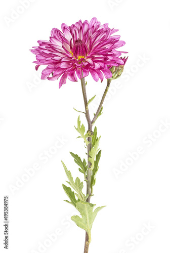 Photo Flowers of chrysanthemum on a white background