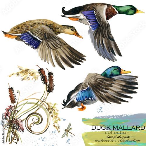 Carta da parati duck mallard hand drawn watercolor illustration set