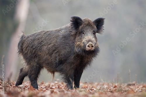 Obraz na plátne wild boar, sus scrofa, Czech republic