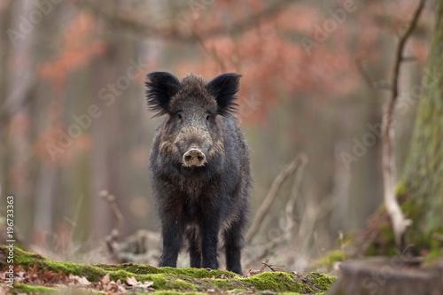 Fotomural wild boar, sus scrofa, Czech republic