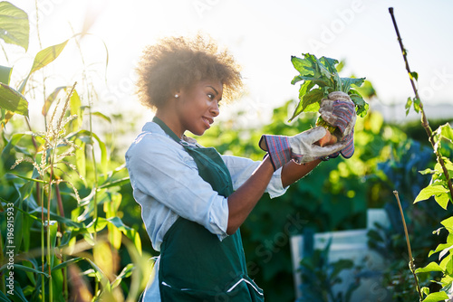 Valokuva african american gardener looking at freshly picked from the ground golden beets