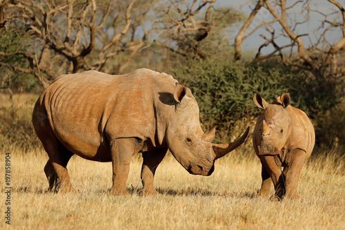 White rhinoceros (Ceratotherium simum) with calf in natural habitat, South Africa.