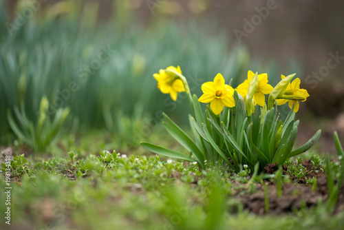 Tablou Canvas Sprouted spring flowers daffodils in early spring garden