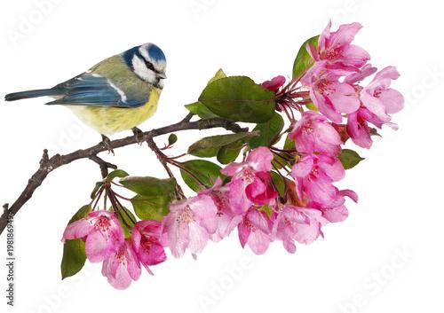 Fototapeta premium eurasian blue tit on apple tree branch with pink flowers