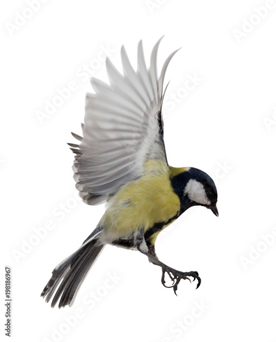 Photo isolated on white great tit in flight