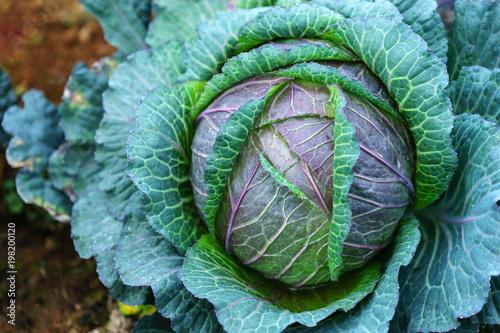 Fotografia, Obraz Natural patterns of fresh cabbage