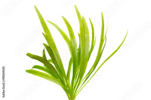 Obraz na plátně Vallisneria water plant