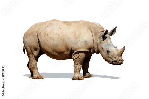 Fototapeta premium Southern White Rhino Isolated on White