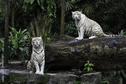 Fototapeta premium Dwa tygrysy w dżungli. Para białych tygrysów bengalskich na naturalne tło