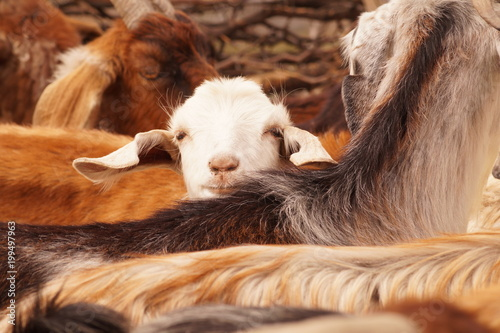 Cabras andinas  para producción de carne y lana en Mendoza Argentina