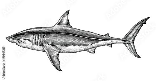 Fototapeta premium Wielki biały rekin rysunek ręka vintage Grawerowanie ilustracja