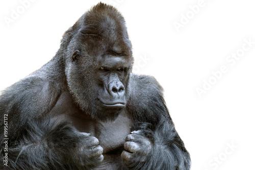 Obraz na płótnie Portrait of a grumpy gorilla isolate