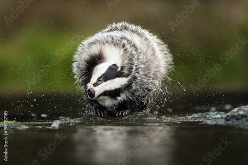 Fotografía European badger (Meles meles - Eurasian badger) in his natural environment