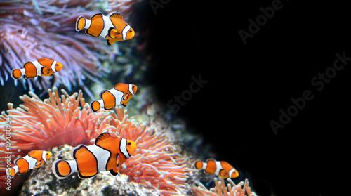 Cuadros en Lienzo Sea anemone and clown fish