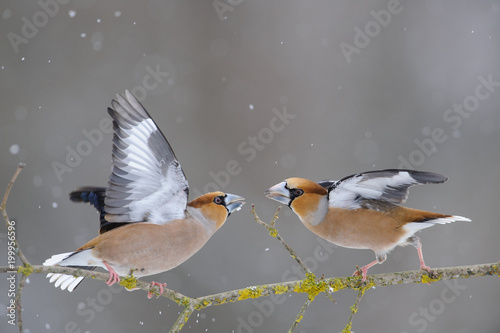 Two hawfinch (Coccothraustes coccothraustes) fight over food during a snowfall Fototapeta