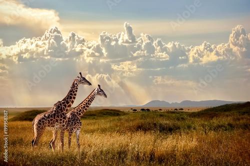Grupa żyraf w Parku Narodowym Serengeti. Zachód słońca w tle. Niebo z promieniami światła w afrykańskiej sawannie. Piękny afrykański cloudscape.