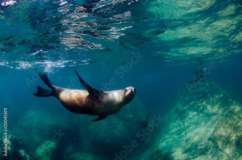 Fototapeta premium Kalifornijski lew morski (Zalophus californianus) pływający i bawiący się na rafach los Islotes na wyspie Espiritu Santo w La paz ,. Baja California Sur, Meksyk.