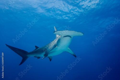 Fototapeta premium Wielki rekin młot Bahamas Bimini