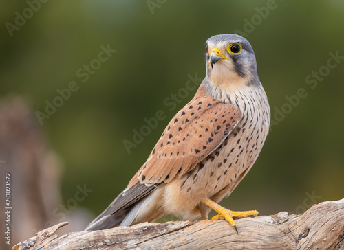 Fototapeta portrait of a common kestrel (Falco tinnunculus) perched on a trunk and green ba