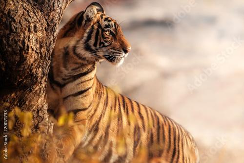Fototapeta premium Royal Bengal Tygrys stanowią z pięknym tłem. Niesamowity tygrys w naturalnym środowisku. Scena przyrody z niebezpieczną bestią. Gorąca pogoda w dzikich Indiach. Panthera Tigris Tigris.