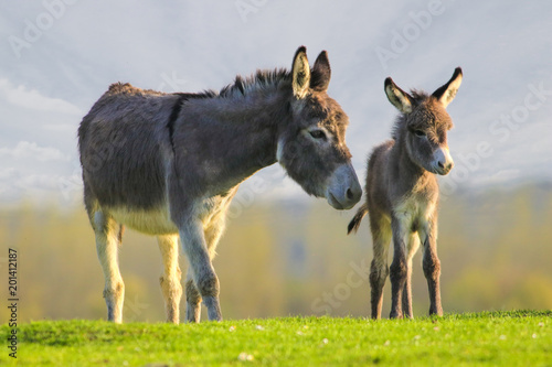 Fotografia Cute baby donkey and mother on floral meadow