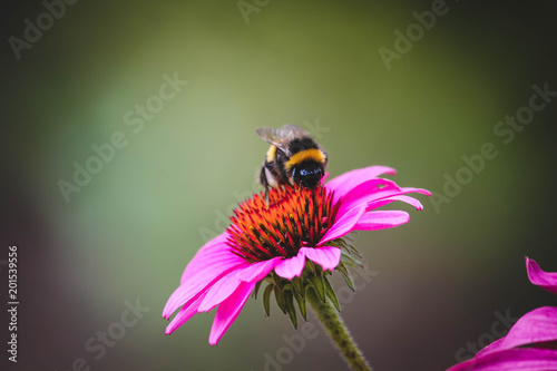 Photo Bumblebee on a flower