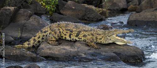 Crocodile du Nil , Crocodylus niloticus, Afrique du Sud