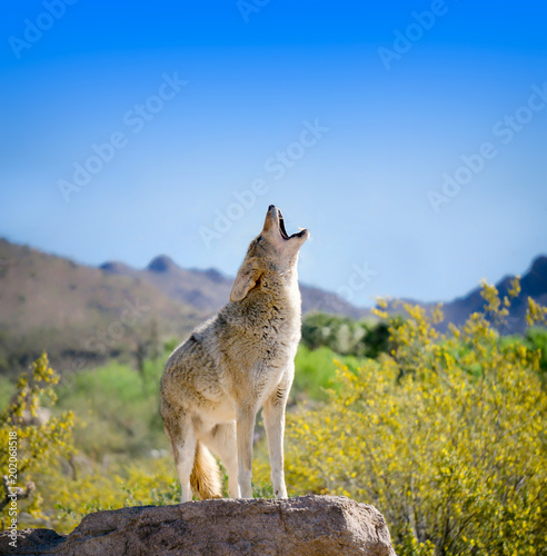 Foto Howling Coyote with Yellow Brittle bush Flowers