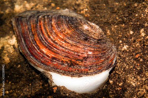 Muschel geöffnet, Teichmuschel im Wasser