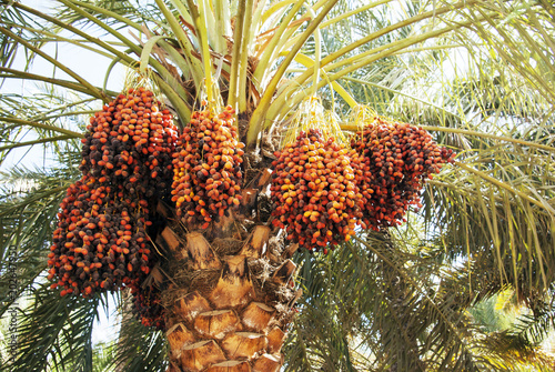 Dates on a palm tree.