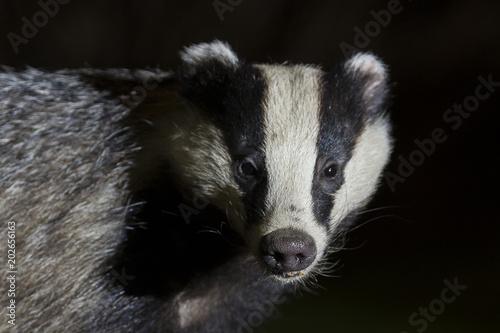 Leinwand Poster wild badger