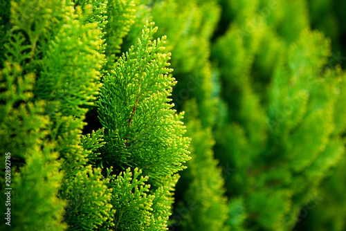 Canvas Print Conifer of fresh green in the garden.