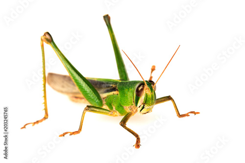 Young green grasshopper isolated on white background. Fototapet