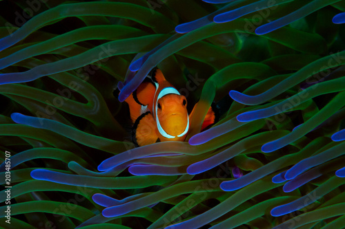 A colorful orange clownfish finds safety among it's host green and purple anemon Fototapeta