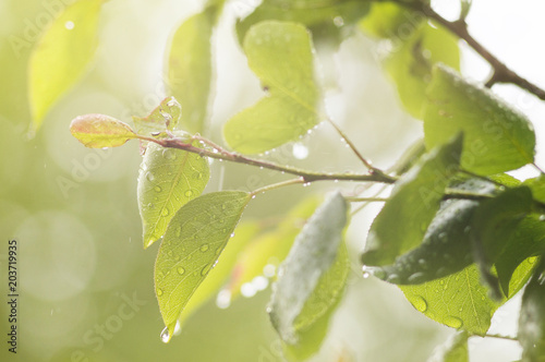 Photo of pear branch under rain. Soft selective focus.