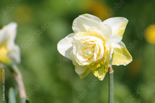 White flower of daffodil (Narcissus) cultivar Obdam from Double Group
