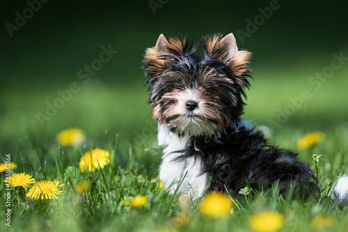 Canvas Print Biewer Yorkshire Terrier puppy