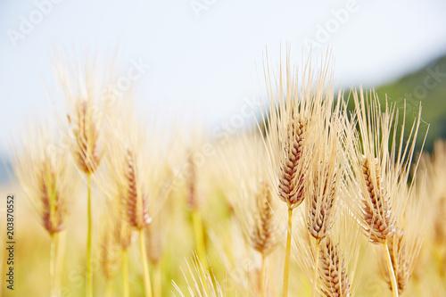 Field barley in period harvest Fotobehang