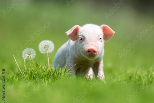 Canvas Print Newborn piglet on spring green grass on a farm