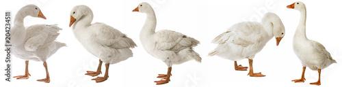 Fotografia white goose (Anser anser domesticus) isolated on a white background