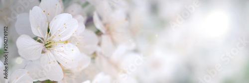 Blooming cherry branch in spring garden at wedding ceremony.